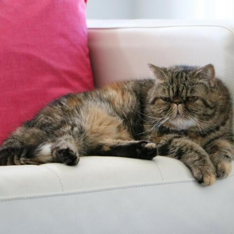 Exotic Shorthair Cat Breed Info