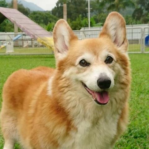 Pembroke Welsh Corgi Dog Breed Info