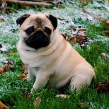 Pug Dog Breed Info