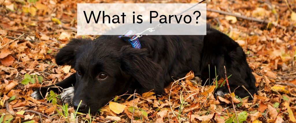What Is Parvovirus Parvo